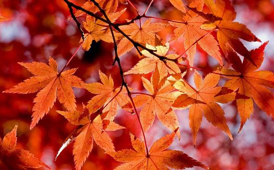 maple-leaves-tree-550x342