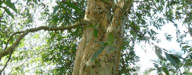 Rejuna Tree