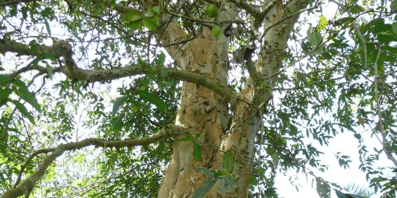 Rejuna®, Terminalia Arjuna Tree